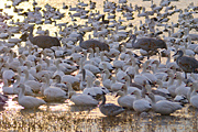 Bosque del Apache National Wildlife Refuge image.