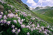 Wildflower photograph of columbine.
