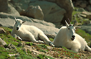Colorado Mtn. Goat Images