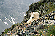 Photograph of a Mountain Goat.