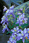 Colorado Columbine Photo